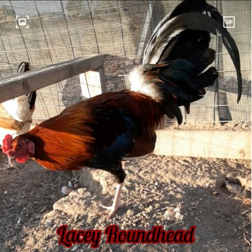 Lacey Roundhead stag FREE SHIPPING FREE CROSSED PULLET WITH ANY PURCHASE